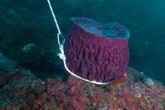 潮境海域解封後 桶形海棉慘被五花大綁定錨、珊瑚斷枝
