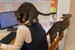 和貓一起工作!日本「貓貓不動產」辦公室畫面曝光 網友喊:我要應徵
