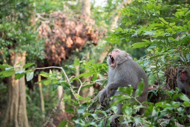 為何台灣獼猴不能被私人飼養與寵物化?
