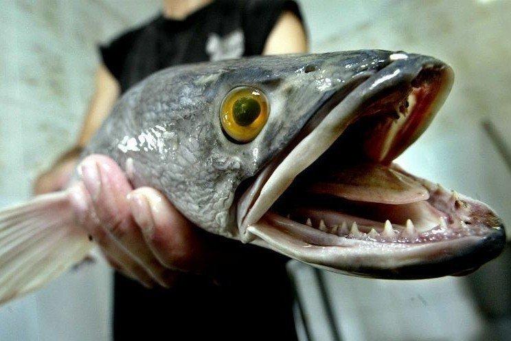入侵魚虎肆虐,有解嗎?