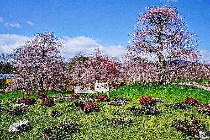 盛開期將有多麼美!日本名古屋粉紅浪漫枝垂梅祭 | 旅遊 | 聯合新聞網