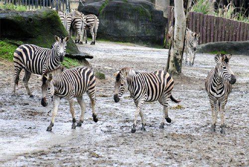 整個產業就像一群斑馬,當其中一隻開始往某個方向跑,整群就跟著跑。離群斑馬與害群之...
