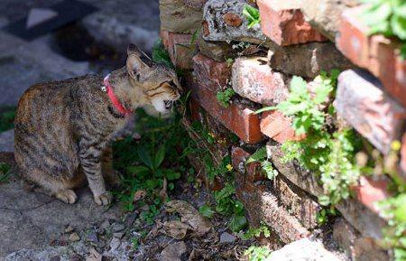 貓薄荷讓貓皇帝龍心大悅的祕密