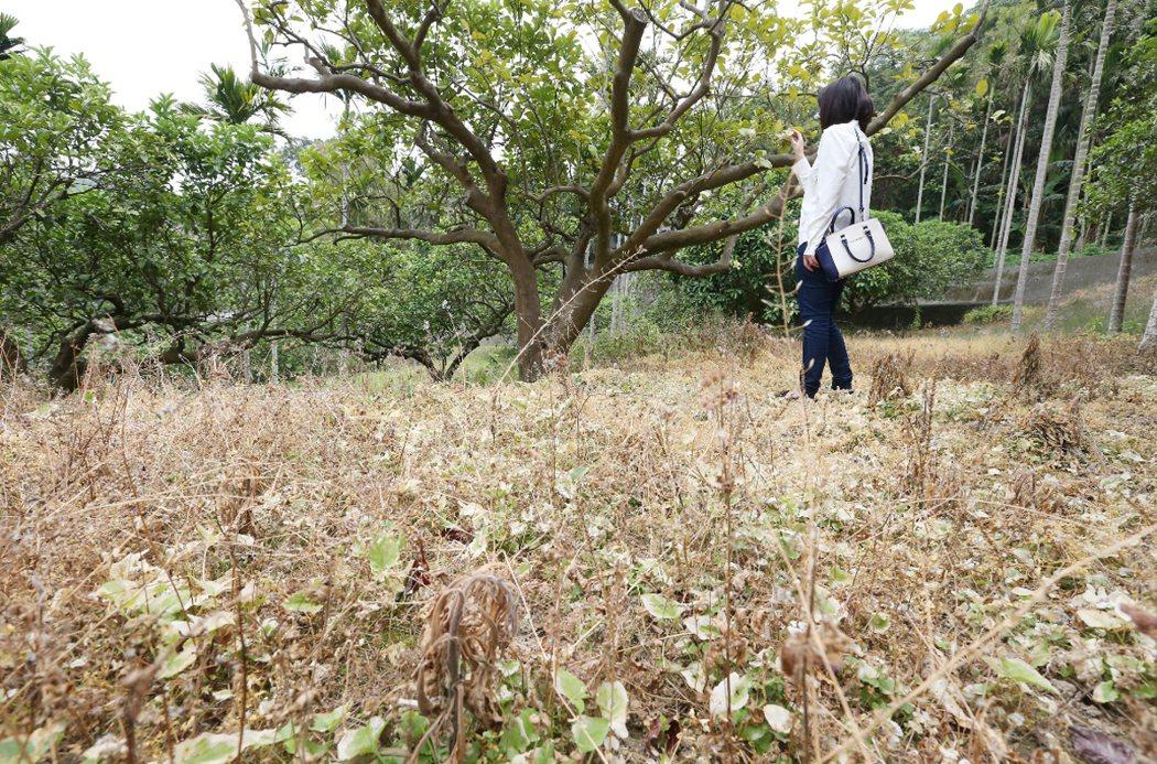 苗栗果園被噴除草劑,滿地枯黃。 記者王騰毅/攝影