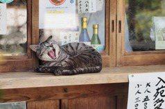 【日本看看】京都的貓,與消失的浪犬