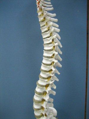 頸胸腰椎模型