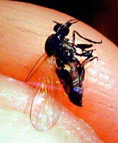 這就是俗稱小黑蚊的台灣鋏蠓。(記者羅紹平/翻攝)