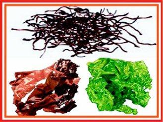 台灣沿海取得的紅藻(上)、褐藻(左)、綠藻(右)可萃取對抗腸病毒的多醣成分。(圖...