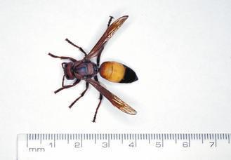 黃腰虎頭蜂的蜂王。(圖/聯合報系資料照片)