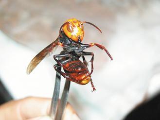 地龍蜂是毒性最兇猛的攻擊蜂。(圖/聯合報系資料照片)