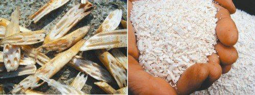 左:太清瘦的蓮藕多作為蓮藕茶原料。右:剛剛曬好的蓮藕粉,接近乳白色。