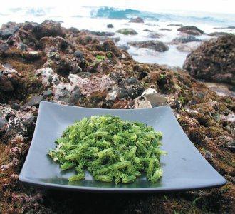 阿美族人知道陸上雀榕發嫩芽時,海裡moli便對應生長。