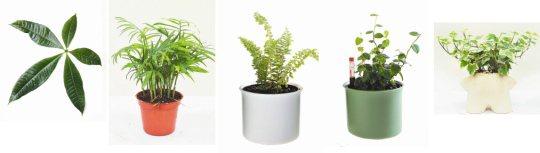 由左至右分別為:馬拉巴栗、袖珍椰子、波士頓腎蕨、薜荔、長春藤