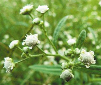 銀膠菊已入侵到彰化縣沿海鄉鎮地區,常被誤認為滿天星。 記者何烱榮/...