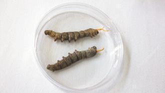 生技業者昨天發表蠶蟲草,希望未來能成為野生冬蟲夏草的替代品。 記者施靜茹/攝影