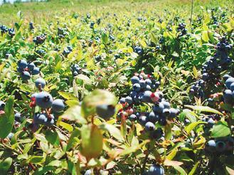 阿卡地亞的野生藍苺