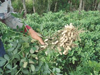 有機花生田裡成熟的落花生。 圖/朱慧芳