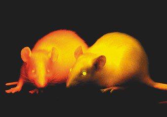 國家實驗研究院實驗動物中心發表大鼠基因轉殖技術。 記者陳瑞源/攝影