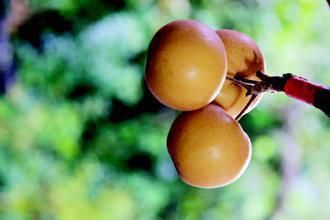 有機水梨個頭嬌小,味道一樣鮮甜。 圖/許享富攝影