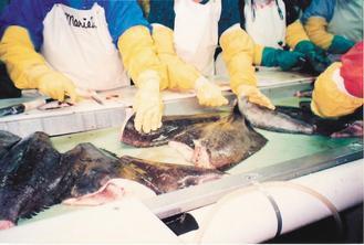 扁鱈處理工廠中,作業員正在切割格陵蘭大比目魚。 圖片提供/湧升海洋提供