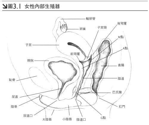 女性內部生殖器