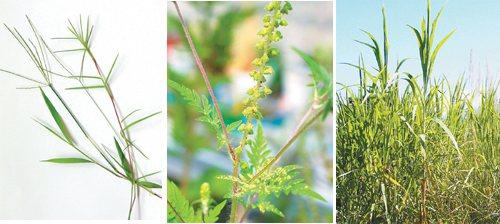 除了塵蟎,中部地區,特別是彰化市及鄰近濱海鄉鎮,兒童及青少年對花粉...
