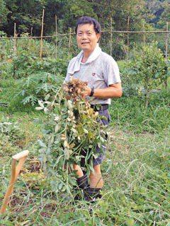 陳春榮說,任雜草生長的下場,就是花生產量不佳。王郁婷/攝影