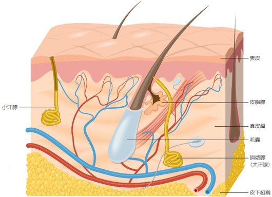 頂漿腺分泌黏稠乳黃色油性液體,被腋下皮膚表面細菌分解之後,產生味道,稱為狐臭。 ...