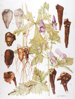 烏頭是毛莨科植物,附子是它的附根,未經炮製的烏頭或附子,毒性很強。 圖/台北榮總...
