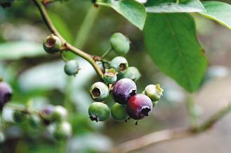 藍莓富含花青素,有助於葡萄糖的吸收。 本報資料照片