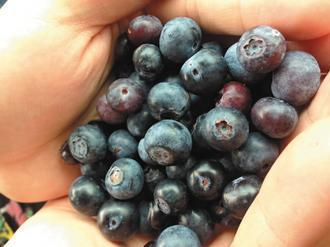 藍莓。 圖/聯合報系資料照