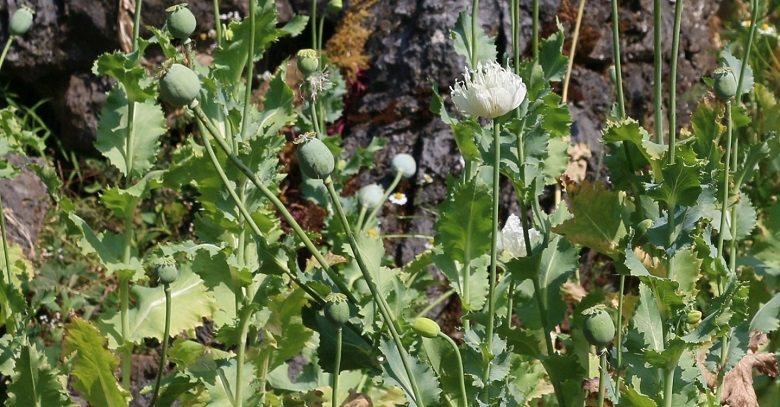 滿山遍野的罌粟花在風中飄搖。 許純鎰攝