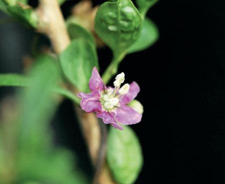 枸杞的花呈紫色,小巧可愛。 圖片來源╱台灣好食材 Fooding