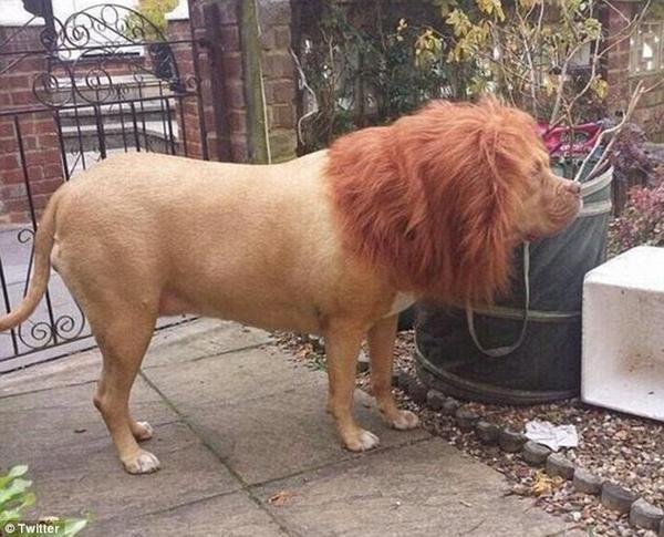 那隻片鴨~(唱)隔壁養了一隻獅子王!是不是要趕快打給動保會! 圖片來源/ twi...