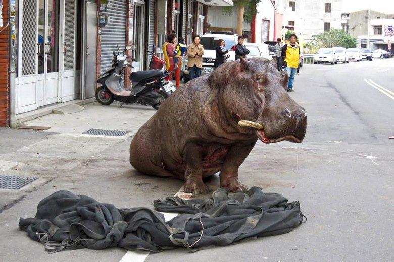 哭哭的「阿河」掀開被忽視的動物運輸議題