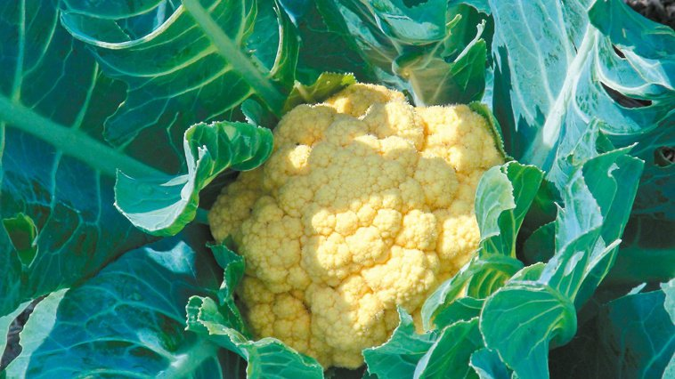 黃金花椰菜。 記者王昭月/攝影