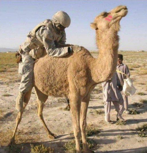 這駱駝到底是在爽屁啊... 圖片來源/ yahoo sports blog su...