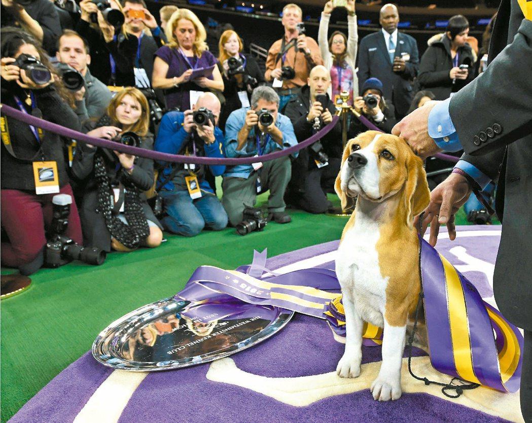 小獵犬示意圖,非研究中受訓的小獵犬。 法新社