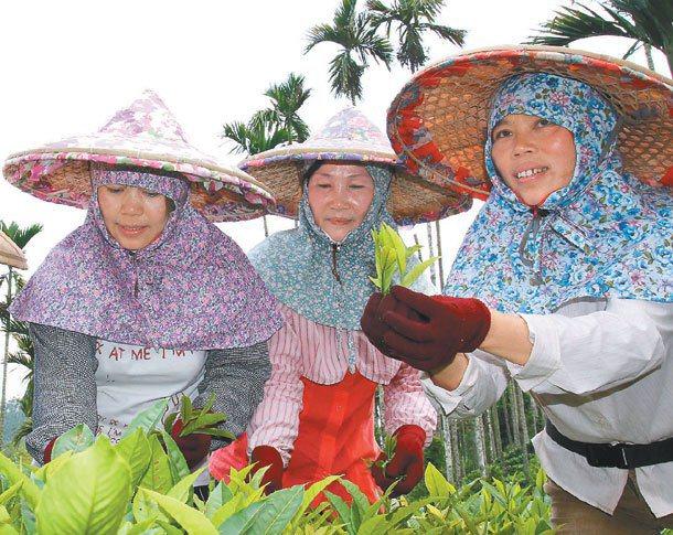 斗笠下的採茶女性換了不同面貌,新住民逐漸成為採茶主力。 記者賴香珊╱攝影