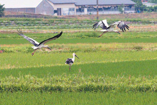 野放與野生的白鸛鳥飛翔於日本兵庫縣豐岡市田間,與豐岡農民共存,成為豐岡人的驕傲。...