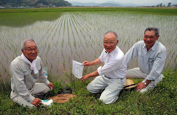 豐岡市農夫以復育農法進行水稻種植。 記者陳易辰/攝影