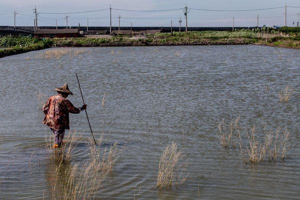 彰化縣大城鄉因海水的滲透作用,許多良田變成一池一池的海水,73歲的農婦洪許美走在...