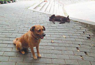 台東市鯉魚山公園內,到處可見到流浪狗。 記者尤聰光/攝影