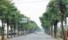 台南/NG植物…黑板樹 撐破善化柏油路