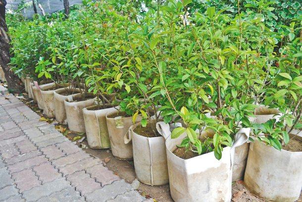 樹木移植前必須以移植袋或繩子類將球根包裹好,以利樹木移植後能順利生長。 記者鄭惠...
