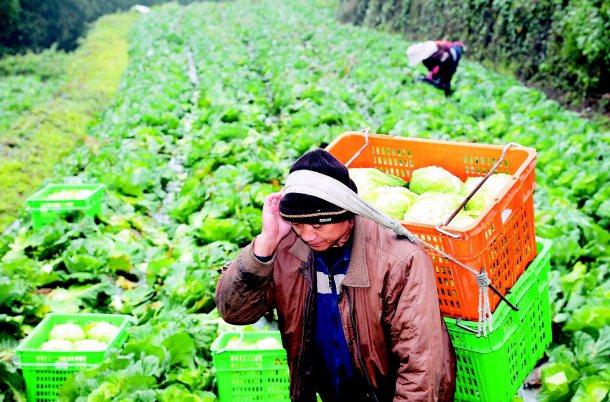 阿里山上的鄒族農人莊鎔蔚,種植有機高麗菜,靠「光原社會企業」在都市打開銷路。 記...