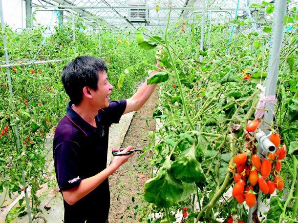纍纍的番茄園裡,藏的是陳柏瑞返鄉為台灣農業奉獻的感情。 記者徐如宜╱攝影