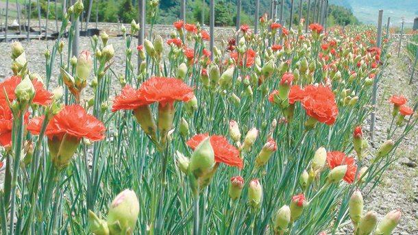 四季平台菜田變花田,馬路旁就能看到康乃馨,吸引許多遊客駐足。 記者吳淑君╱攝影