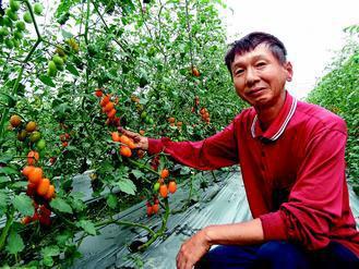 看到番茄收成,楊慶明欣慰心血沒有白費。 記者翁禎霞/攝影