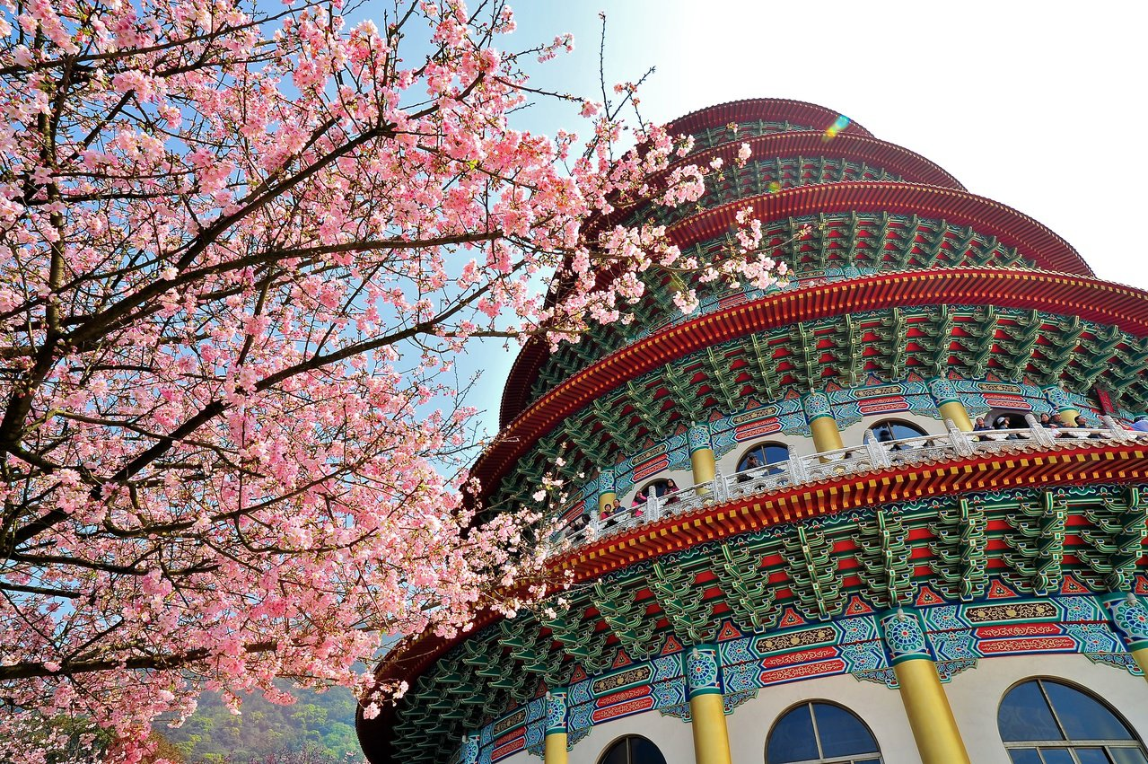 新北市知名的吉野櫻賞花景點淡水天元宮。張秀凰攝影、新北市農業局提供